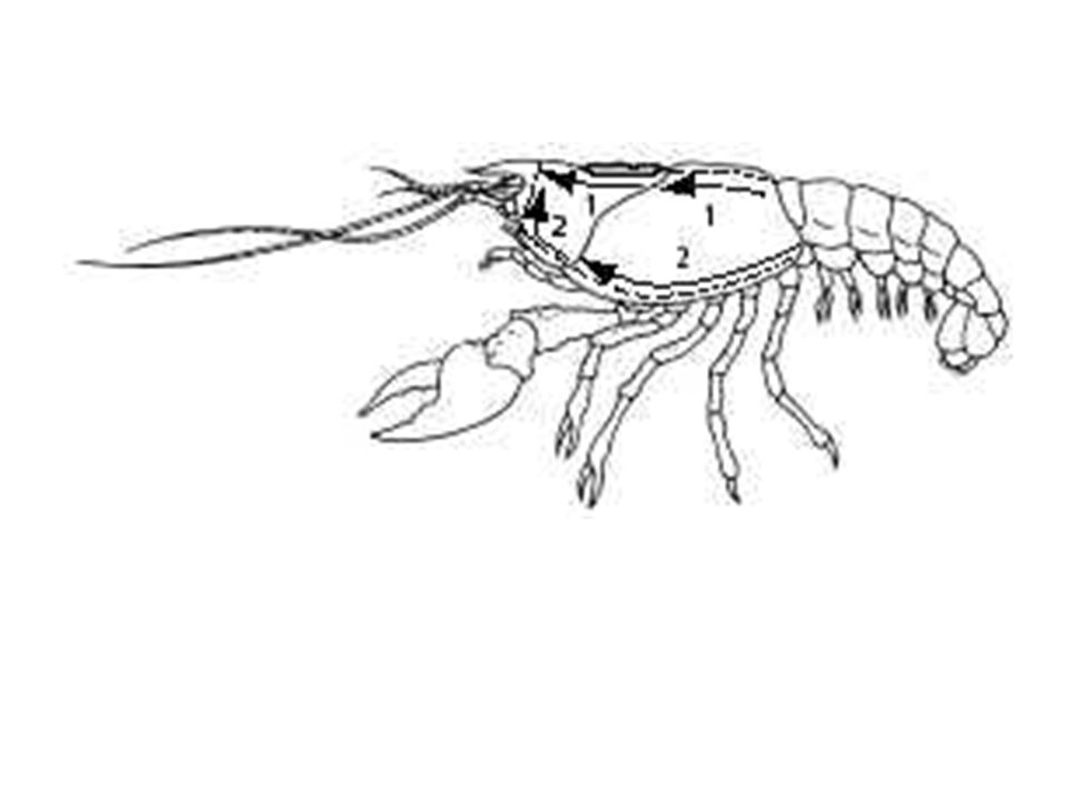 Staring The Crayfish Part 2 Internal Anatomy Ppt Video Online