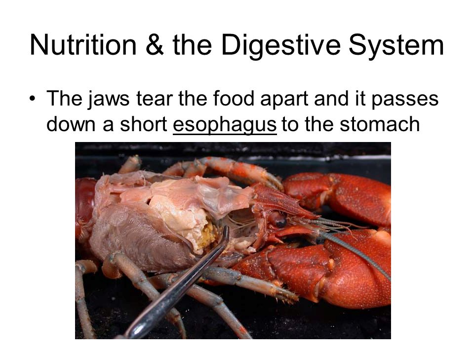 Nutrition & the Digestive System The jaws tear the food apart and it passes down a short esophagus to the stomach