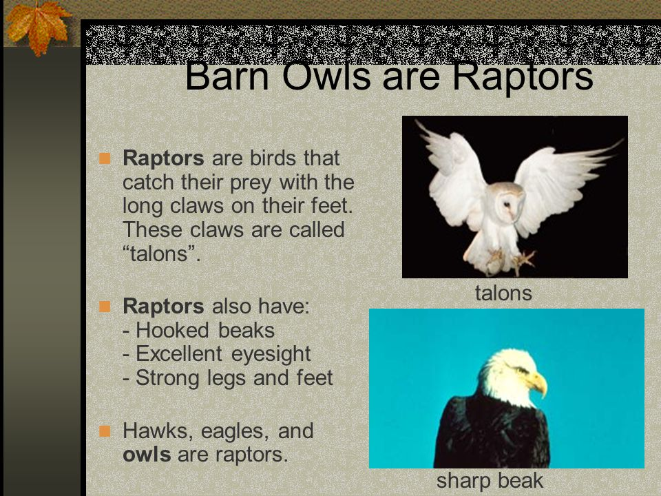 """Barn Owls are Raptors Raptors are birds that catch their prey with the long claws on their feet. These claws are called """"talons"""". Raptors also have: -"""