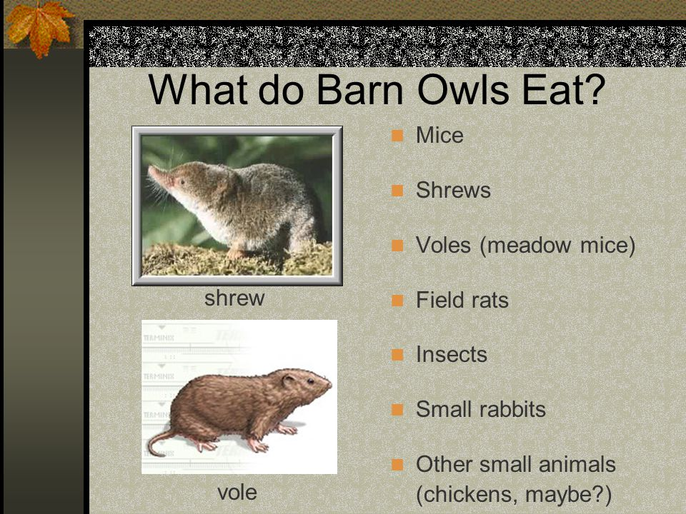 What do Barn Owls Eat? Mice Shrews Voles (meadow mice) Field rats Insects Small rabbits Other small animals (chickens, maybe?) shrew vole