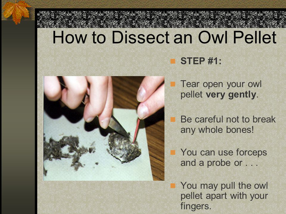 How to Dissect an Owl Pellet STEP #1: Tear open your owl pellet very gently. Be careful not to break any whole bones! You can use forceps and a probe
