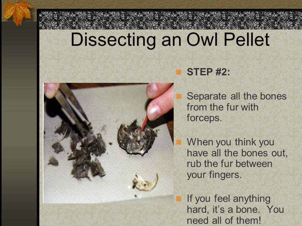 Dissecting an Owl Pellet STEP #2: Separate all the bones from the fur with forceps. When you think you have all the bones out, rub the fur between you