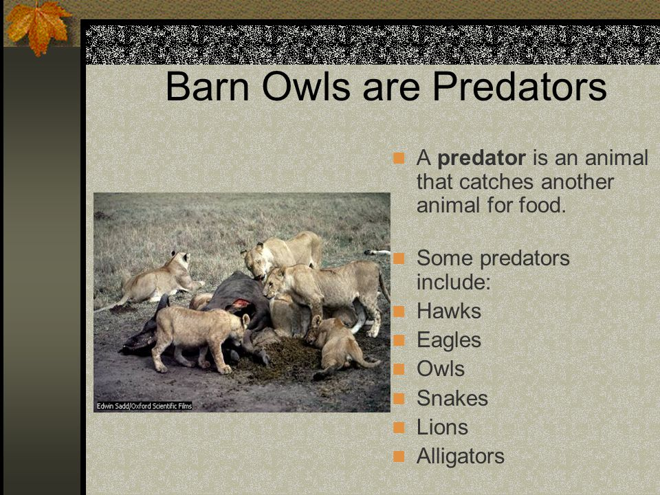 Barn Owls are Predators A predator is an animal that catches another animal for food. Some predators include: Hawks Eagles Owls Snakes Lions Alligator
