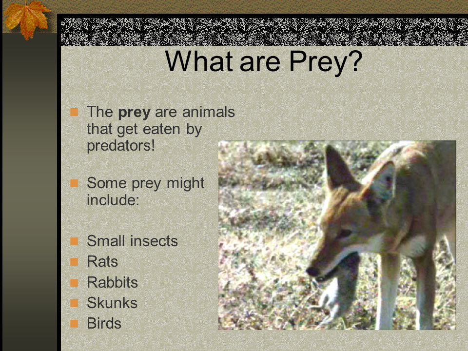 What are Prey? The prey are animals that get eaten by predators! Some prey might include: Small insects Rats Rabbits Skunks Birds