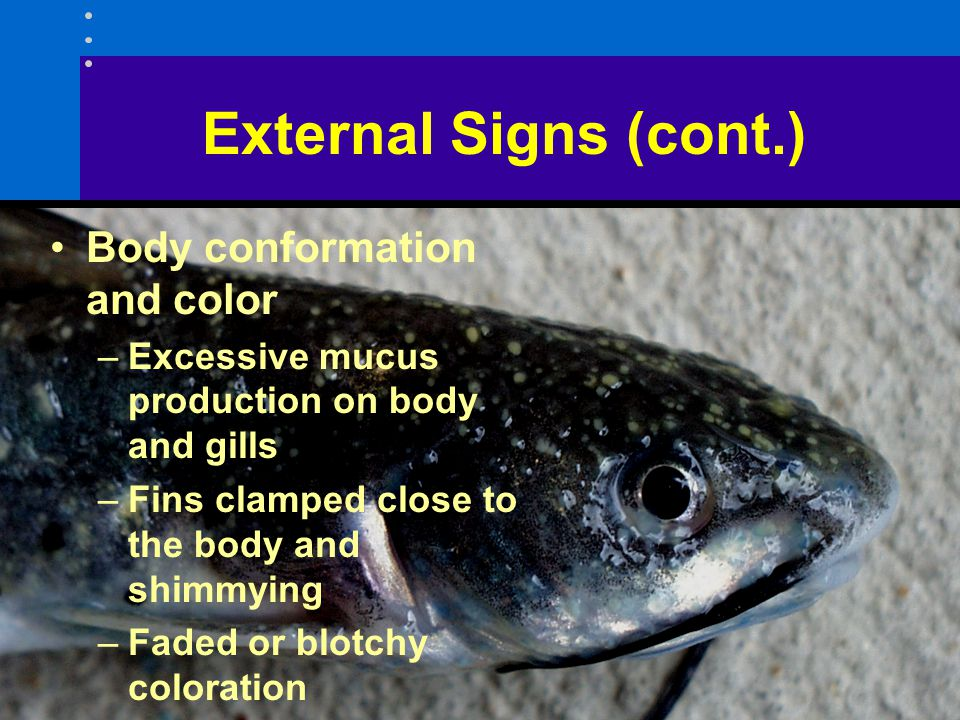 External Signs (cont.) Body conformation and color –Excessive mucus production on body and gills –Fins clamped close to the body and shimmying –Faded or blotchy coloration