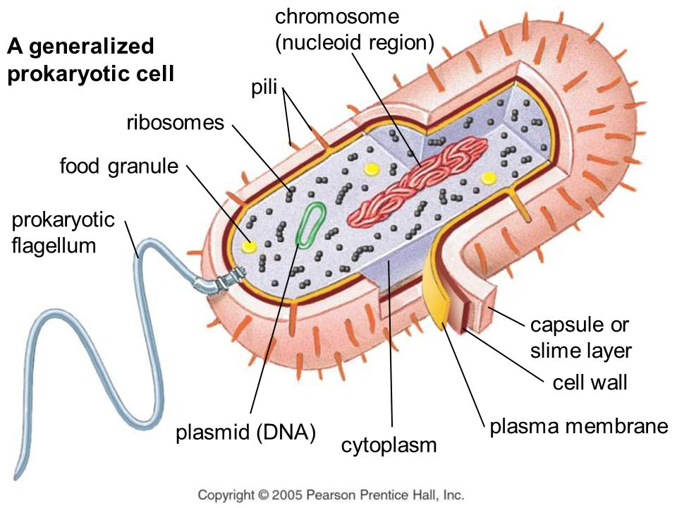 chromosome (nucleoid region) pili ribosomes food granule prokaryotic flagellum capsule or slime layer cell wall plasma membrane cytoplasm plasmid (DNA