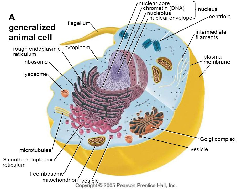 mitochondrion vesicle cytoplasm flagellum lysosome centriole Golgi complex vesicle nuclear pore nuclear envelope chromatin (DNA) nucleolus nucleus rib