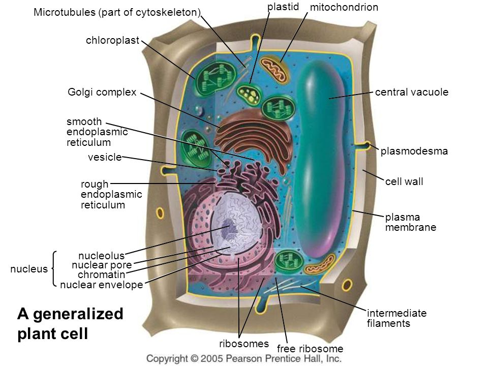 central vacuole plastid mitochondrion vesicle plasmodesma cell wall plasma membrane intermediate filaments free ribosome ribosomes nucleus nucleolus nuclear pore chromatin nuclear envelope Golgi complex chloroplast Microtubules (part of cytoskeleton) smooth endoplasmic reticulum rough endoplasmic reticulum A generalized plant cell