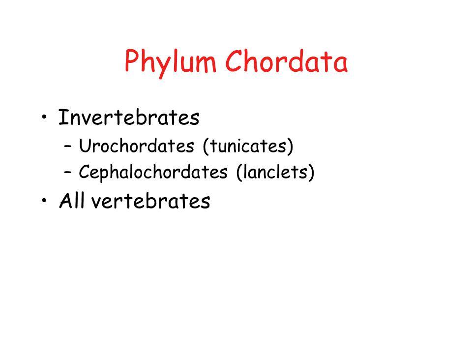 Phylum Chordata Invertebrates –Urochordates (tunicates) –Cephalochordates (lanclets) All vertebrates