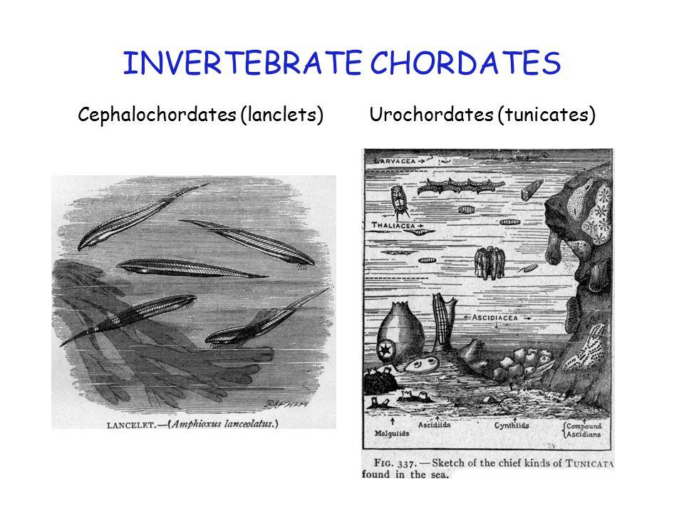 INVERTEBRATE CHORDATES Cephalochordates (lanclets) Urochordates (tunicates)