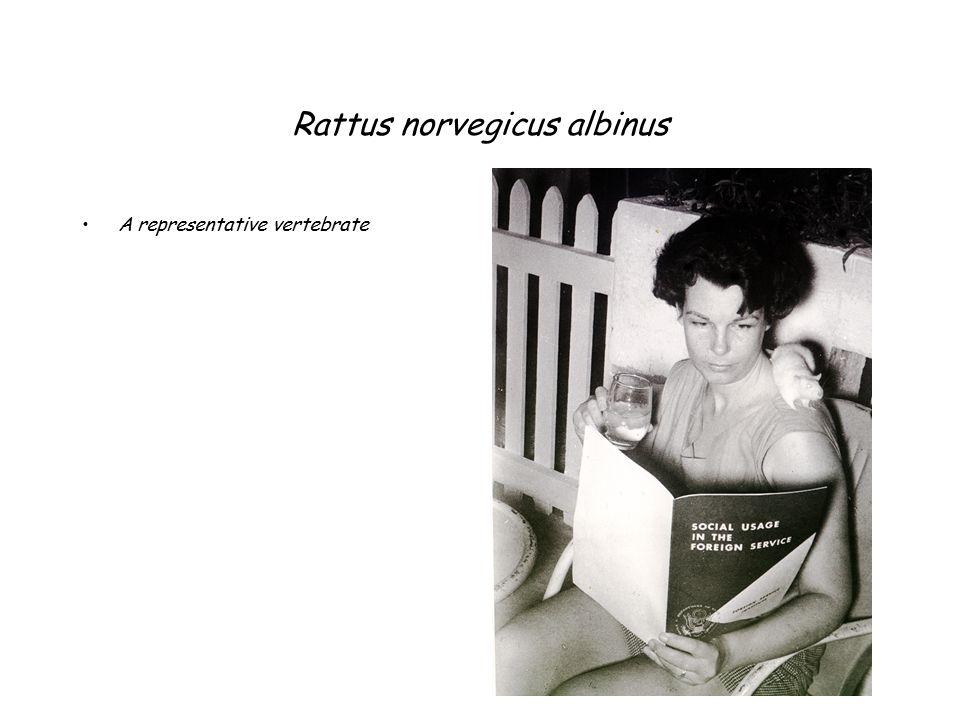 Rattus norvegicus albinus A representative vertebrate