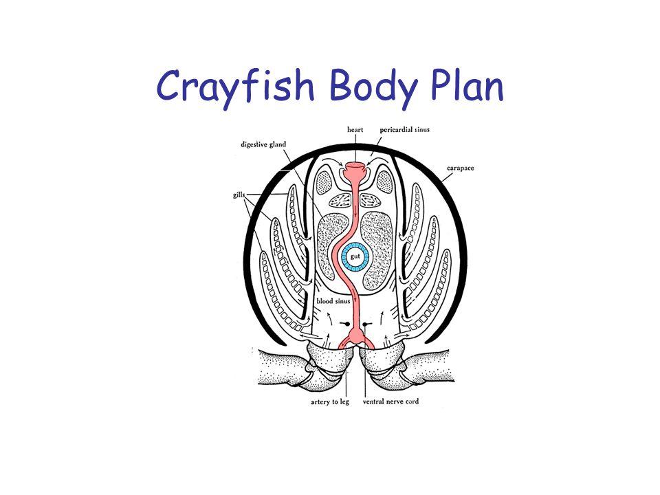 Crayfish Body Plan