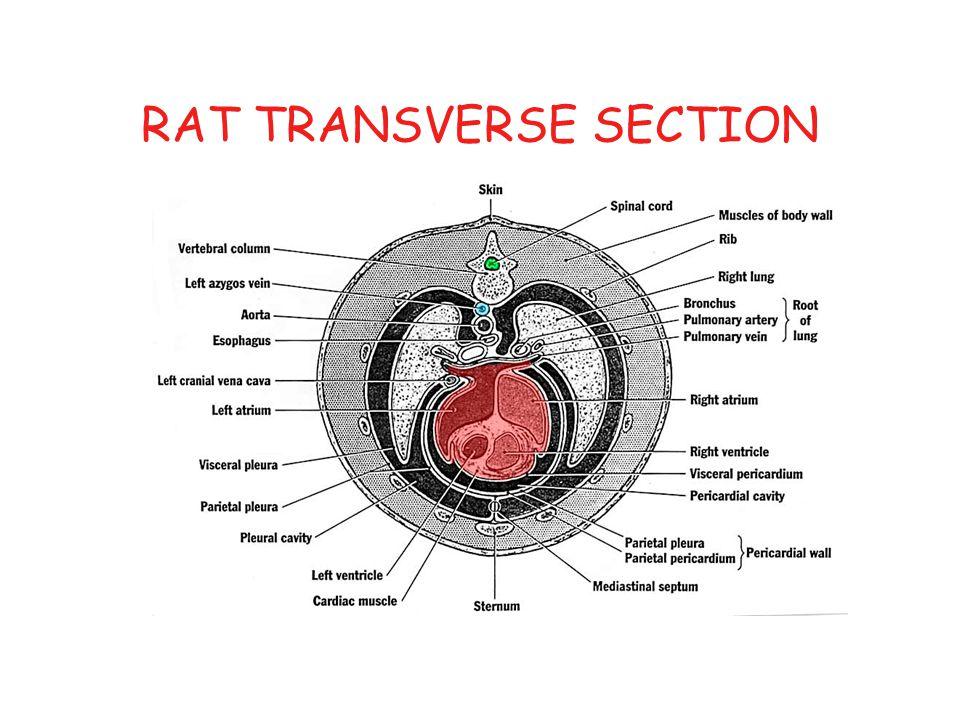 RAT TRANSVERSE SECTION