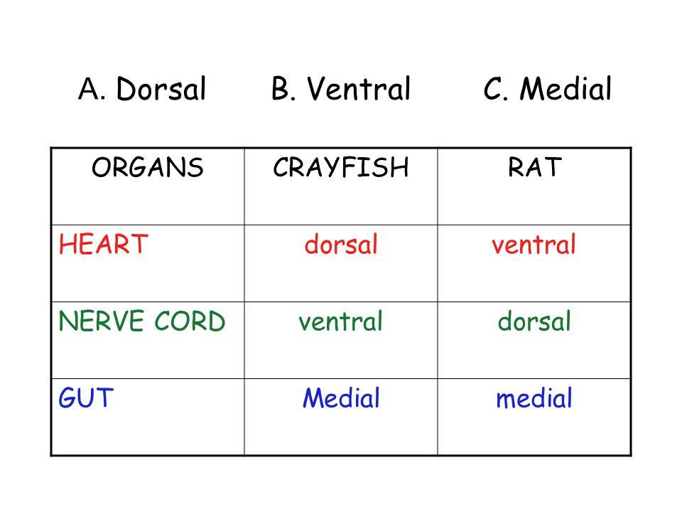 A. Dorsal B. Ventral C. Medial ORGANSCRAYFISHRAT HEARTdorsalventral NERVE CORDventraldorsal GUTMedialmedial