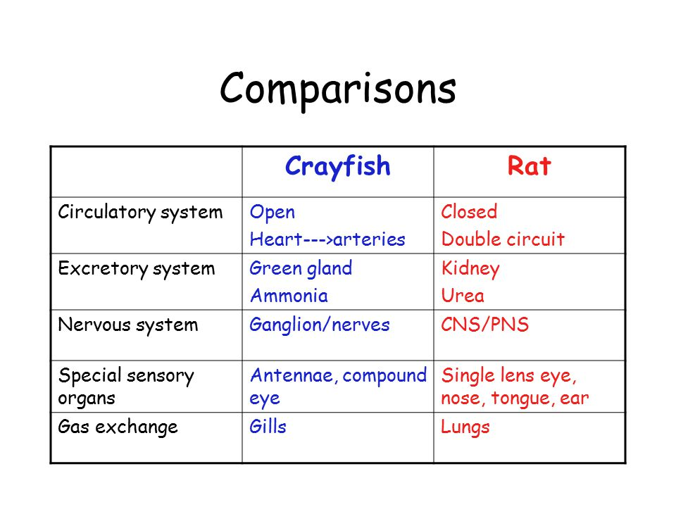 Comparisons CrayfishRat Circulatory systemOpen Heart--->arteries Closed Double circuit Excretory systemGreen gland Ammonia Kidney Urea Nervous systemGanglion/nervesCNS/PNS Special sensory organs Antennae, compound eye Single lens eye, nose, tongue, ear Gas exchangeGillsLungs