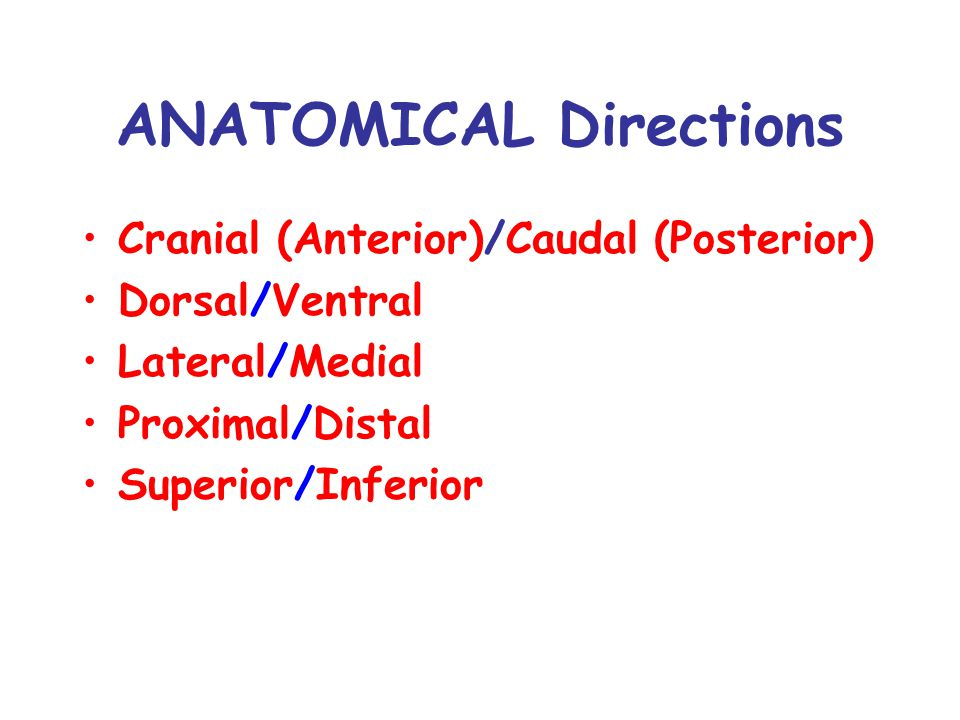 ANATOMICAL Directions Cranial (Anterior)/Caudal (Posterior) Dorsal/Ventral Lateral/Medial Proximal/Distal Superior/Inferior