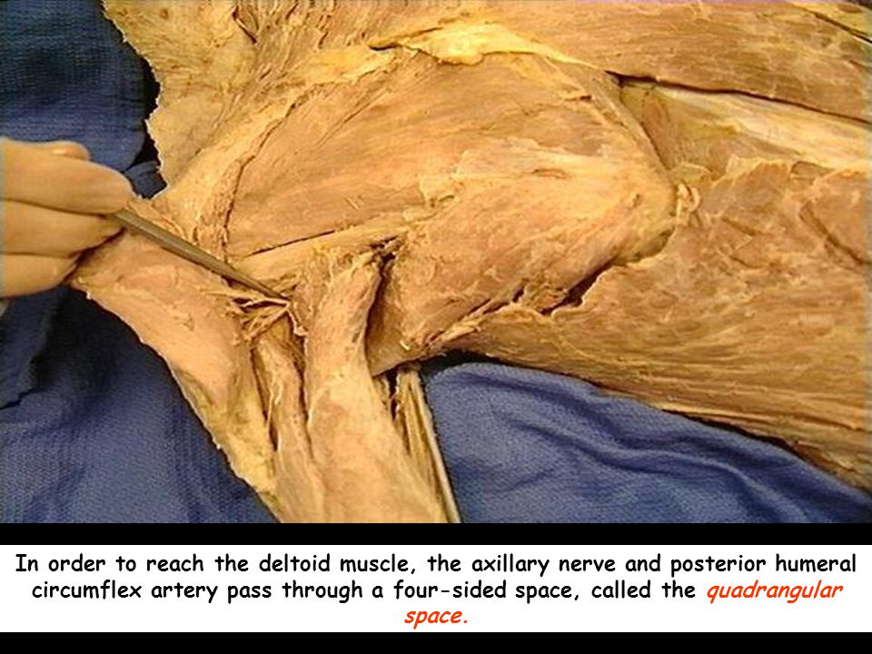 In order to reach the deltoid muscle, the axillary nerve and posterior humeral circumflex artery pass through a four-sided space, called the quadrangular space.