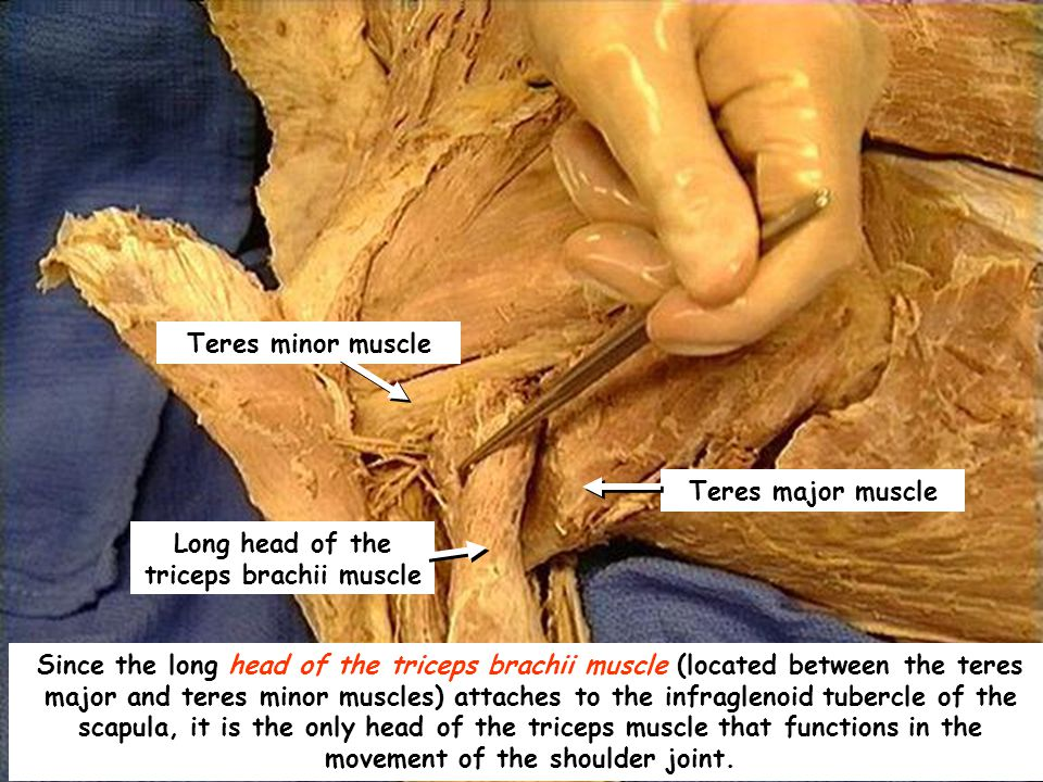 Teres major muscle Teres minor muscle Long head of the triceps brachii muscle Since the long head of the triceps brachii muscle (located between the teres major and teres minor muscles) attaches to the infraglenoid tubercle of the scapula, it is the only head of the triceps muscle that functions in the movement of the shoulder joint.
