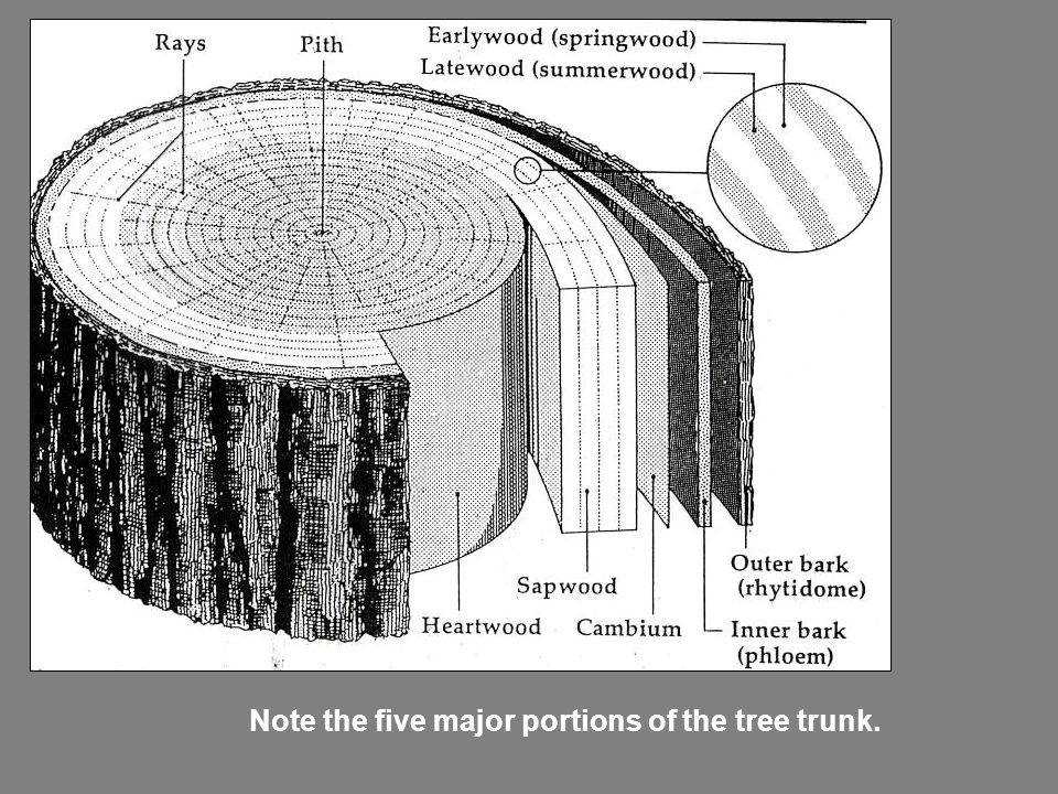 Note the five major portions of the tree trunk.