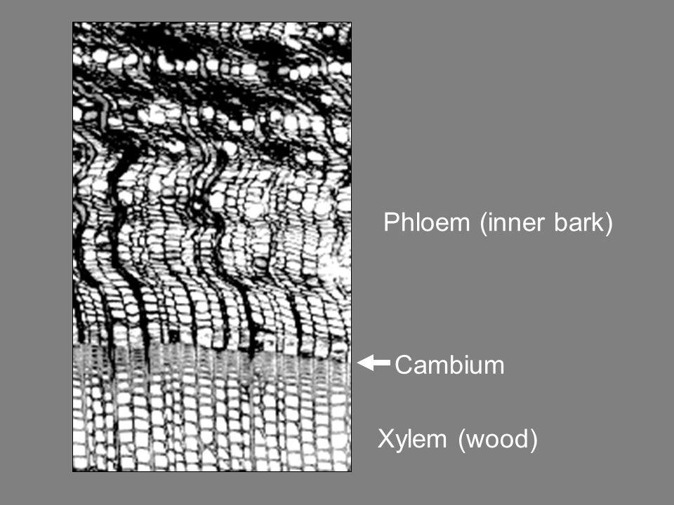 Phloem (inner bark) Xylem (wood) Cambium