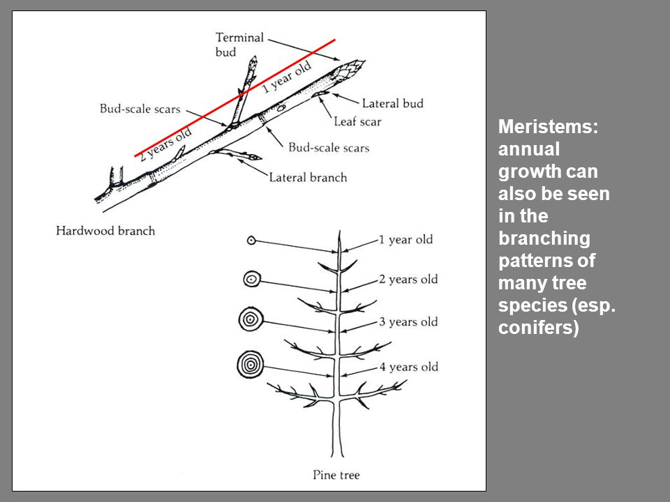 Meristems: annual growth can also be seen in the branching patterns of many tree species (esp.