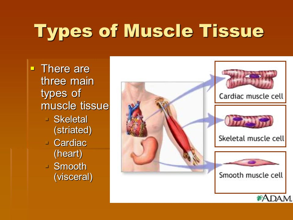 Muscle Tissue Characteristics IIIIs made up of contractile fibers PPPProvides movement CCCControlled by the nervous system VVVVoluntary- consciously controlled IIIInvoluntary- not under conscious control EEEExamples SSSSkeletal SSSSmooth CCCCardiac Cardiac Skeletal Smooth