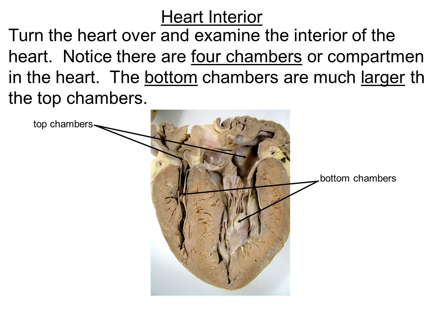 Heart Interior Turn the heart over and examine the interior of the heart. Notice there are four chambers or compartments in the heart. The bottom cham