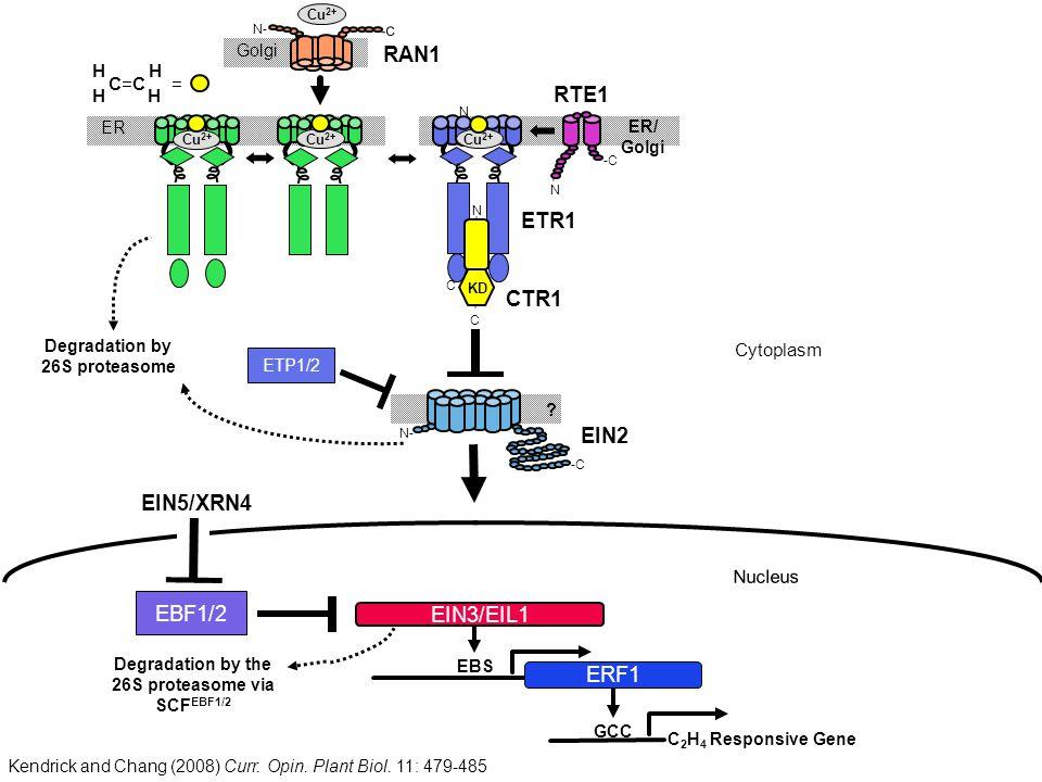 RAN1 Golgi EBF1/2 EIN2 C 2 H 4 Responsive Gene CTR1 ETR1 ER Nucleus GCC Degradation by 26S proteasome C - - C EBS -C N- EIN5/XRN4 -C N- ERF1 H HH C=CC