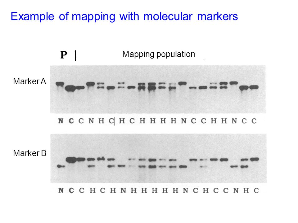 Example of mapping with molecular markers Mapping population Marker B Marker A