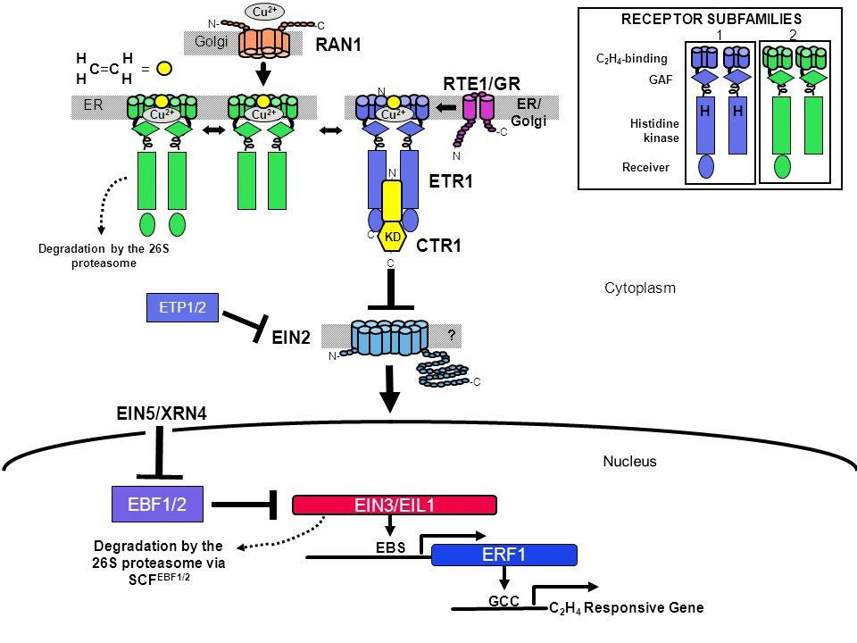 RAN1 Golgi EBF1/2 EIN2 C 2 H 4 Responsive Gene CTR1 ETR1 ER Nucleus GCC Degradation by the 26S proteasome C - - C EBS -C N- EIN5/XRN4 C 2 H 4 -binding