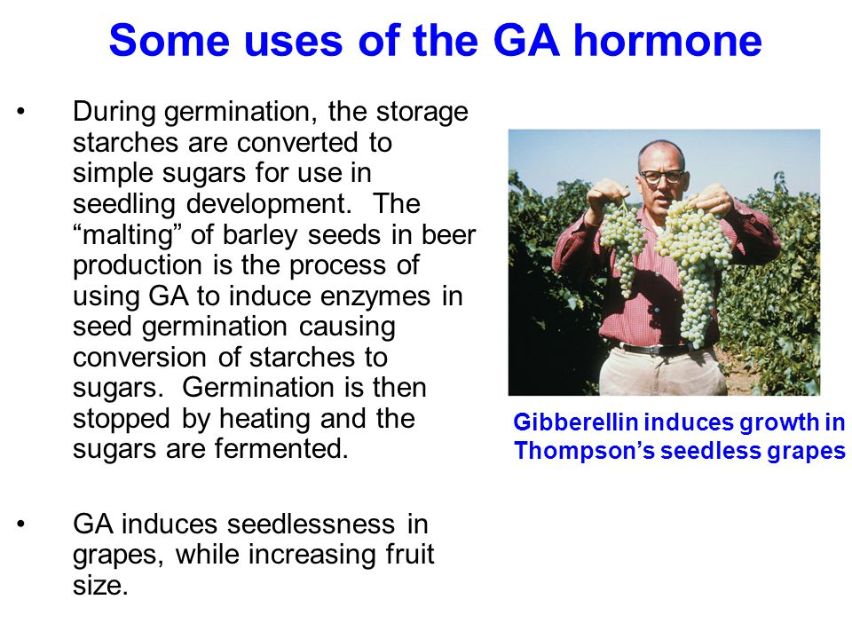 Some uses of the GA hormone Gibberellin induces growth in Thompson's seedless grapes During germination, the storage starches are converted to simple