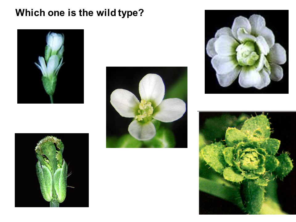 Which one is the wild type?