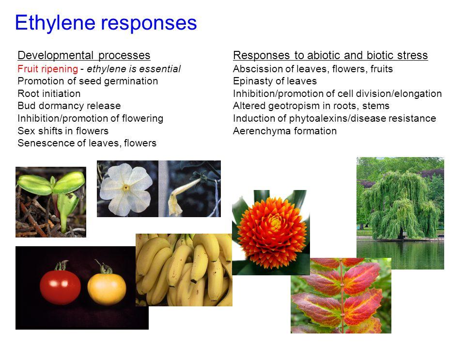 Ethylene responses Developmental processes Fruit ripening - ethylene is essential Promotion of seed germination Root initiation Bud dormancy release I