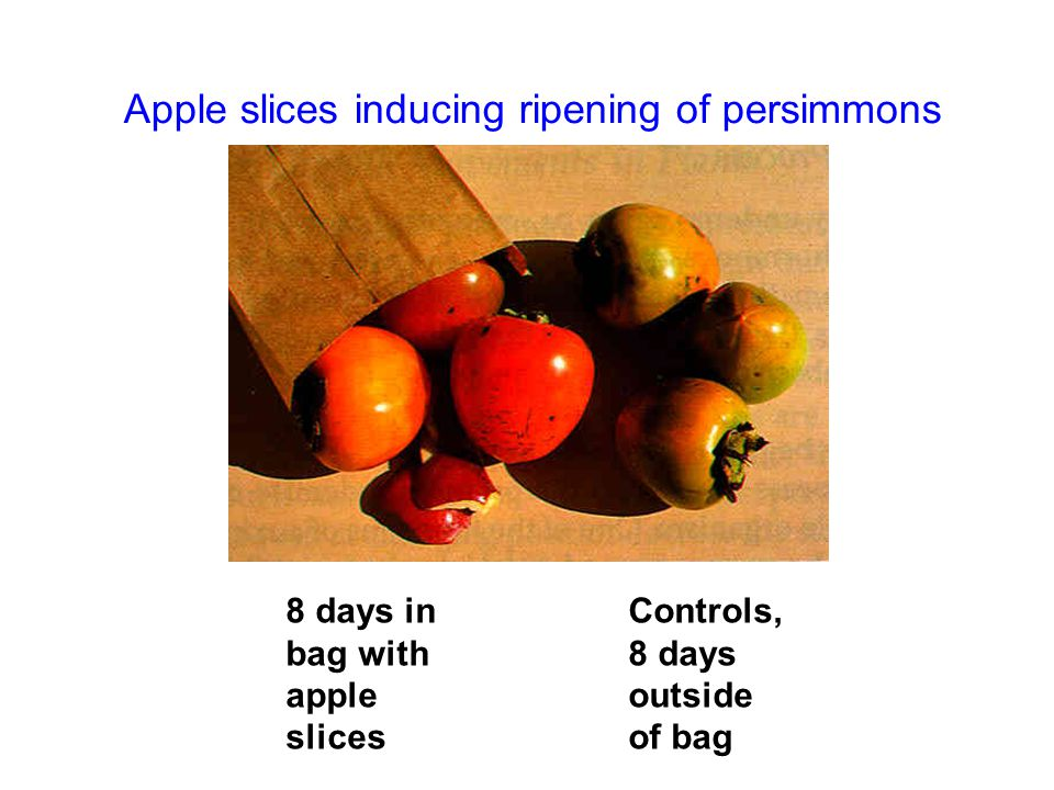 Apple slices inducing ripening of persimmons 8 days in bag with apple slices Controls, 8 days outside of bag