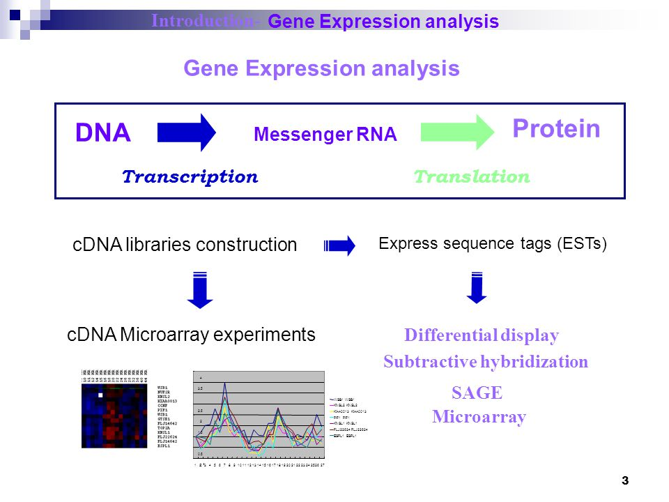 4 The organization of genes on a human chromosome.