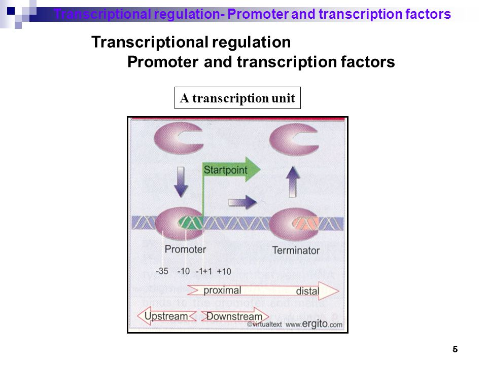6 Promoter Transcriptional regulation- Promoter and transcription factors