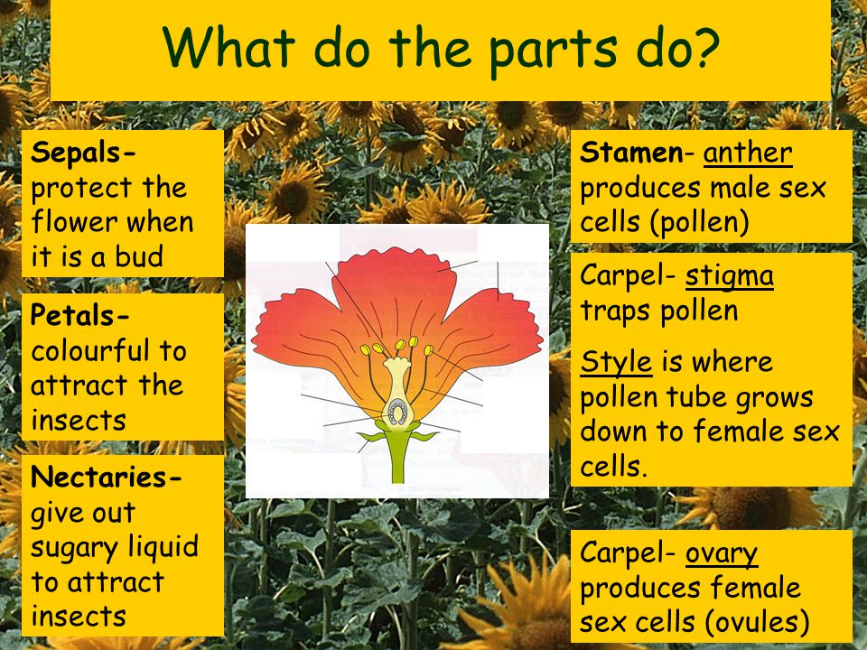 Petals Stigma Anther Filament Ovary Sepals Ovules Nectaries Style Collect a cut-out flower, colour it in and put it together. Carpel female parts Stam
