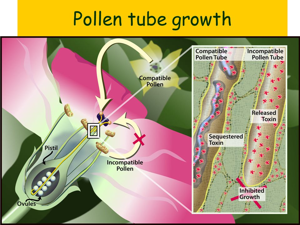 Pollen tubes The pollen grain grows a tube. The tube reaches an ovule. The gamete nuclei fuse (fertilisation) and a zygote (seed) forms.
