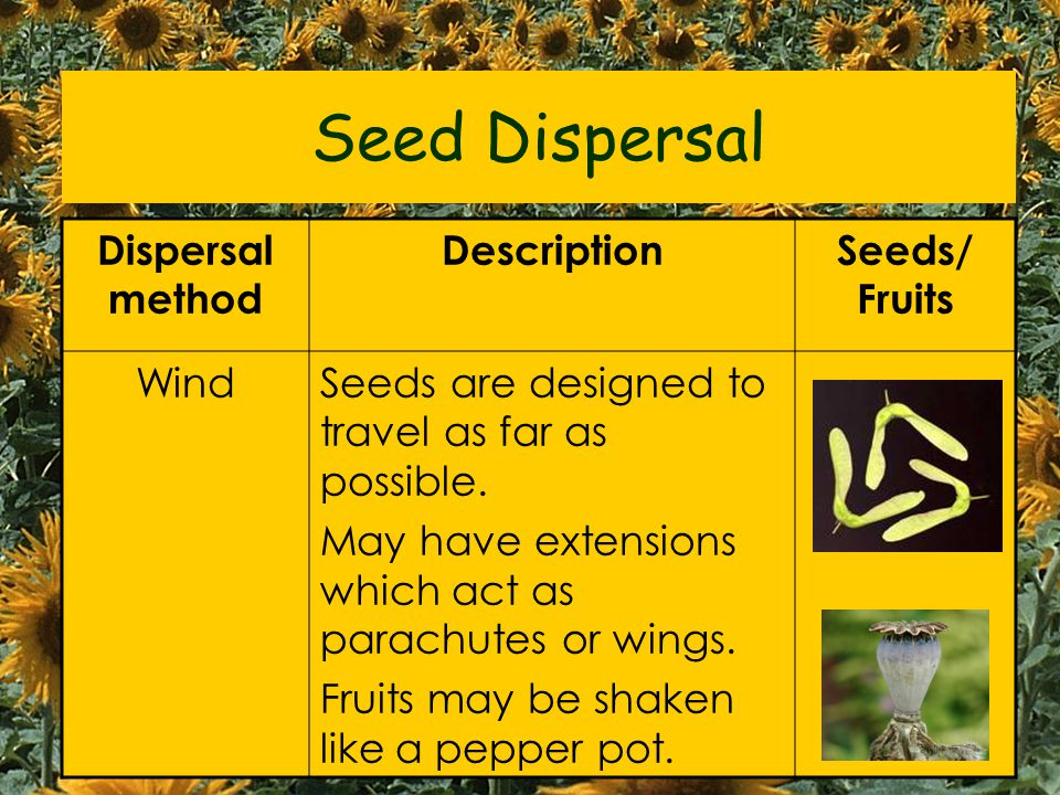 Seeds must be carried away (dispersed / scattered) from the parent plant to: Reduce overcrowding Seed Dispersal- why? Reduce competition for: - Water