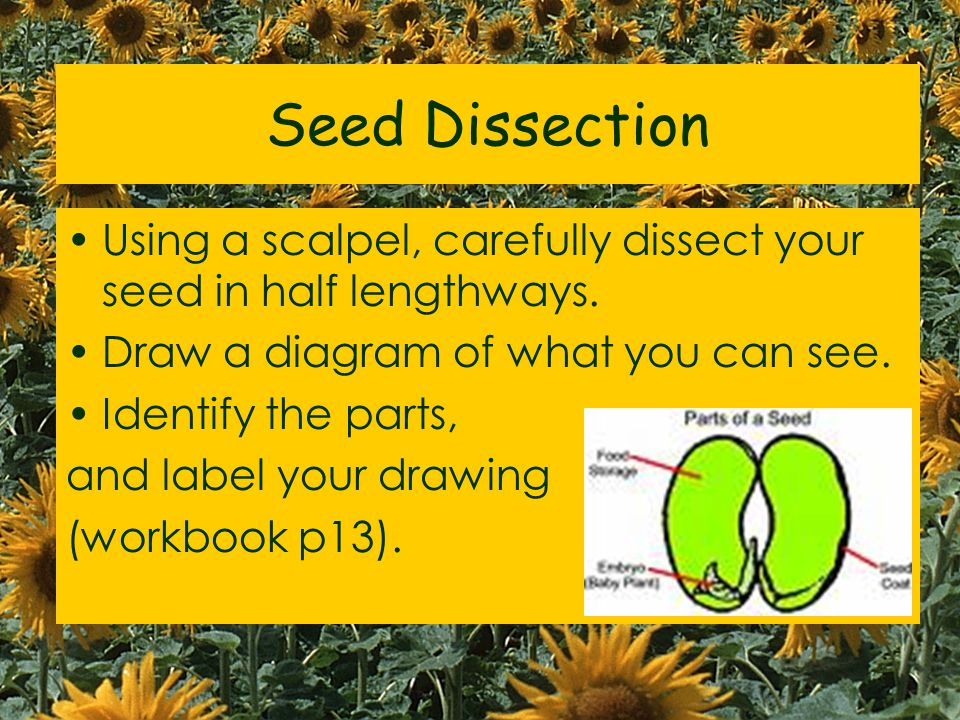 Seed Dissection Using a scalpel, carefully dissect your seed in half lengthways.