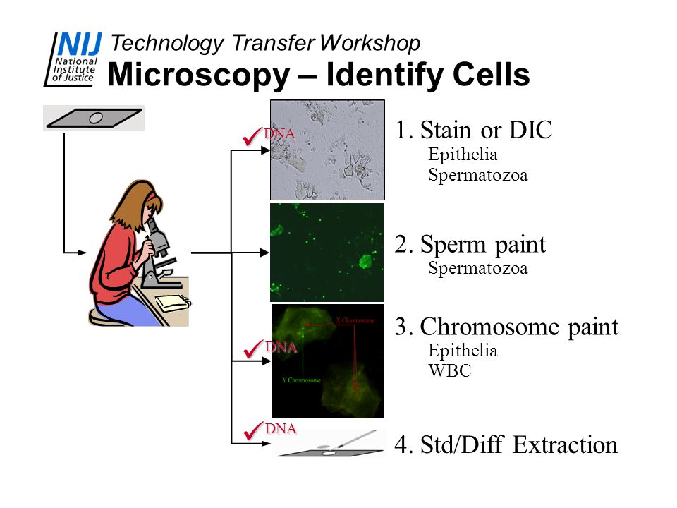 Technology Transfer Workshop Microscopy – Identify Cells 1.Stain or DIC Epithelia Spermatozoa 2.Sperm paint Spermatozoa 3.Chromosome paint Epithelia WBC 4.Std/Diff Extraction DNA DNA