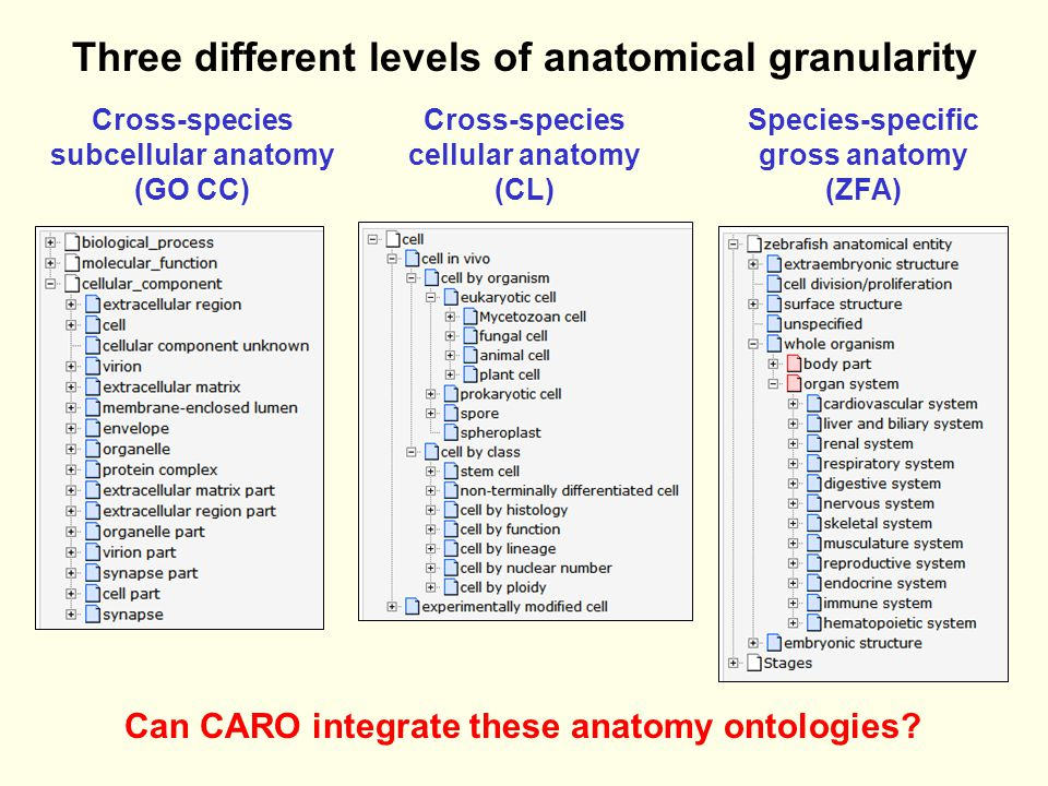 Three different levels of anatomical granularity Cross-species subcellular anatomy (GO CC) Cross-species cellular anatomy (CL) Species-specific gross