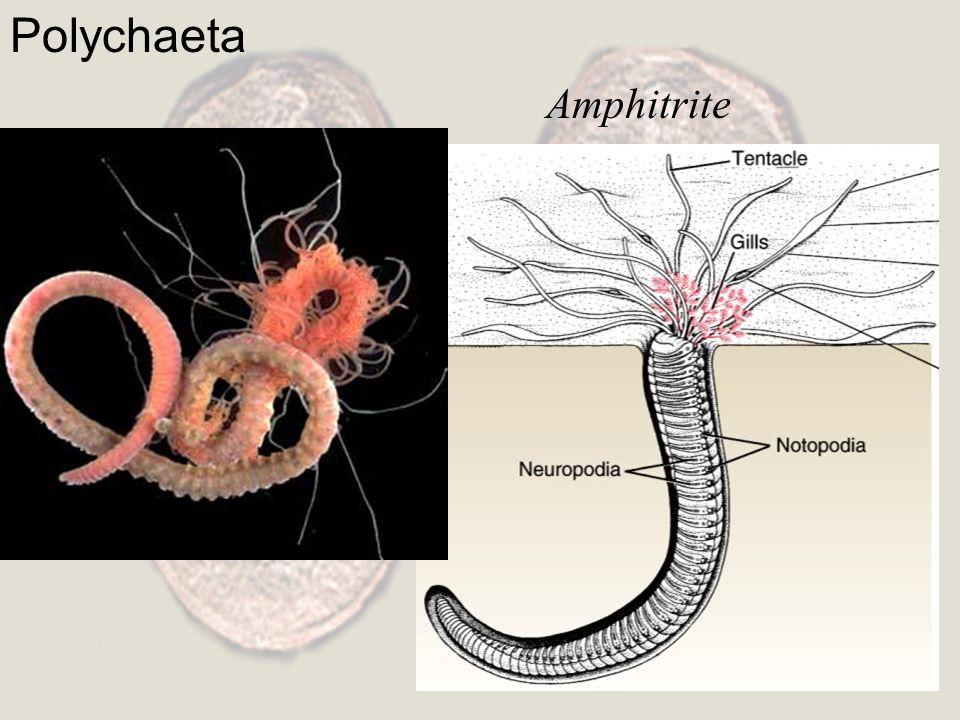 Polychaeta Amphitrite
