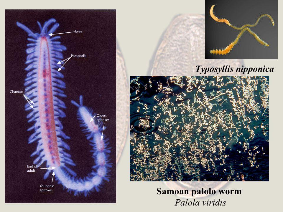 Typosyllis nipponica Samoan palolo worm Palola viridis