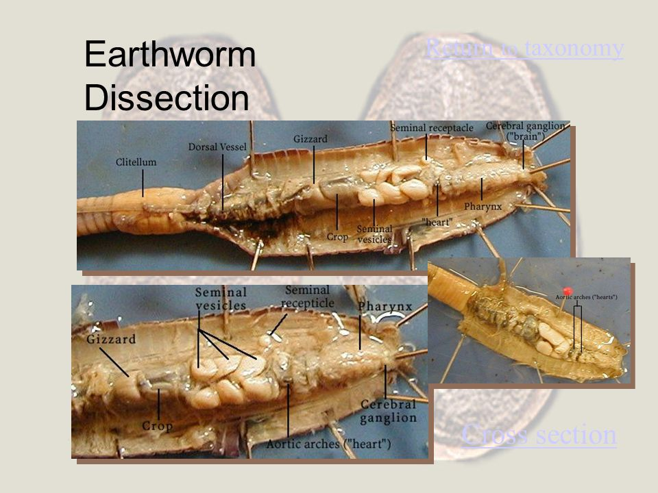Earthworm Dissection Return to taxonomy Cross section