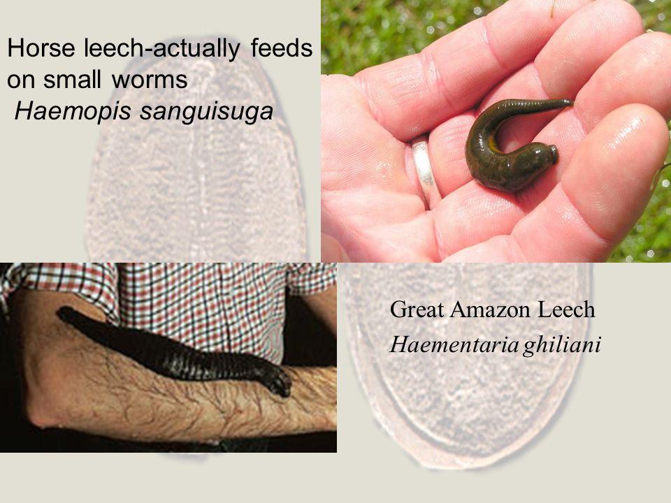 Horse leech-actually feeds on small worms Haemopis sanguisuga Great Amazon Leech Haementaria ghiliani