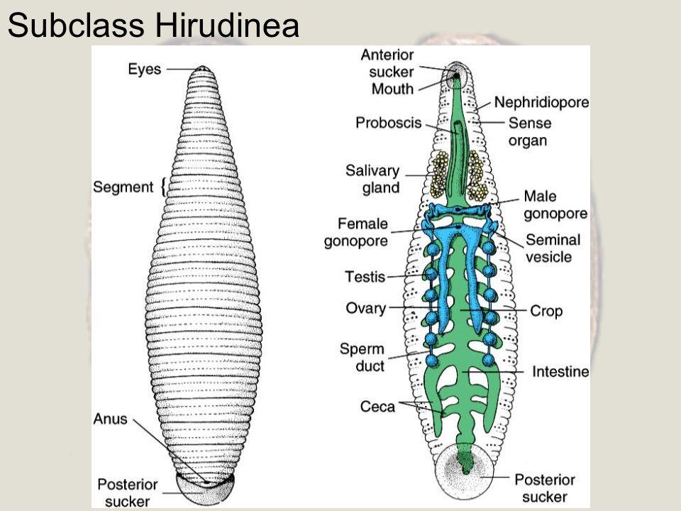 Subclass Hirudinea