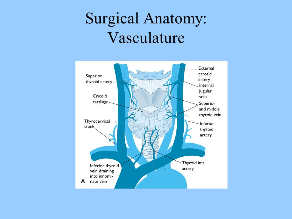 Surgical Anatomy: Vasculature