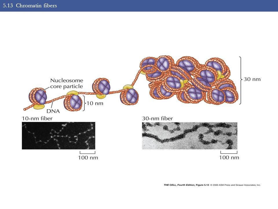 5.13 Chromatin fibers