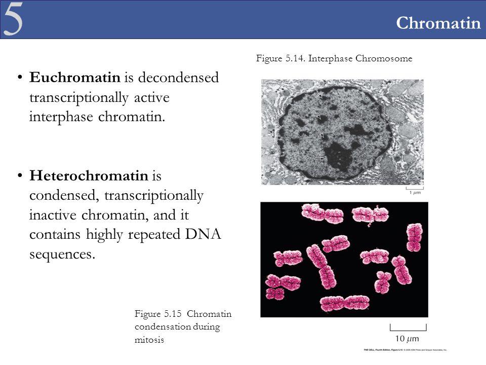 5 Chromatin Euchromatin is decondensed transcriptionally active interphase chromatin.